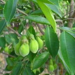 沈香・Agarwoodの種 10粒)(送料無料)