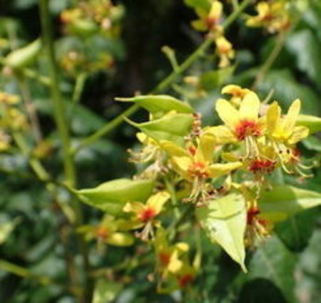 モクゲンジ・goldenrain tree・の種10粒(送料無料)
