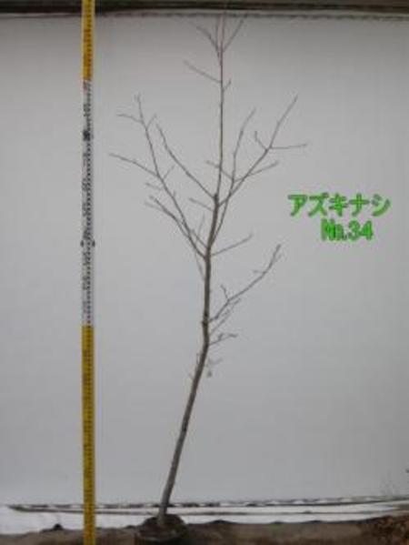 アズキナシ  No,34