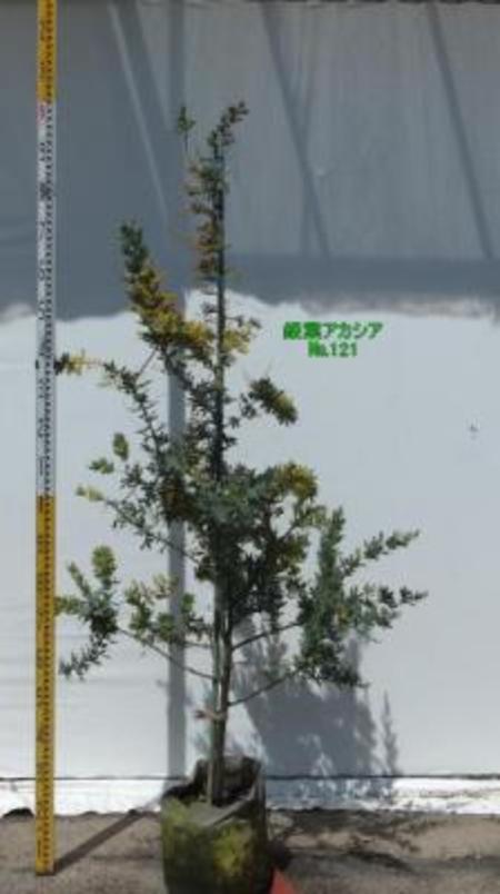 銀葉アアカシア  No,121