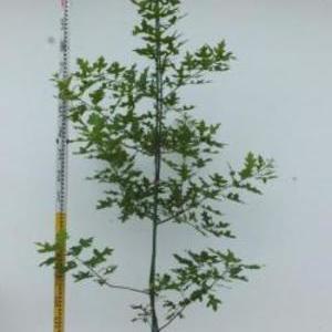 Quercus palustris ピンオーク No,101
