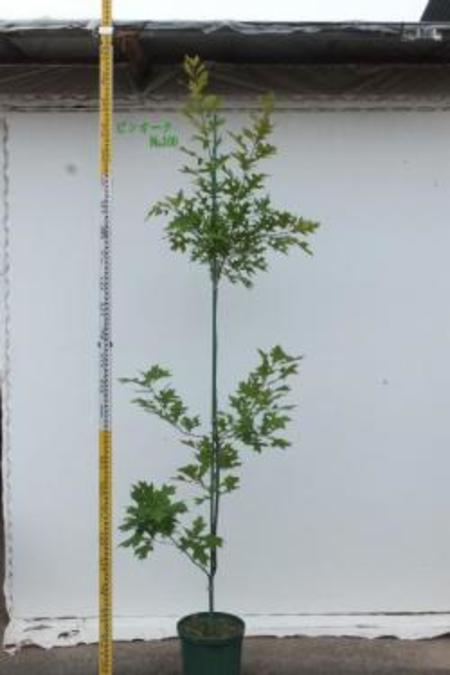 Quercus palustris ピンオーク No,100