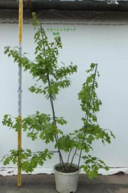 Quercus Coccinea スカーレットオーク No,99