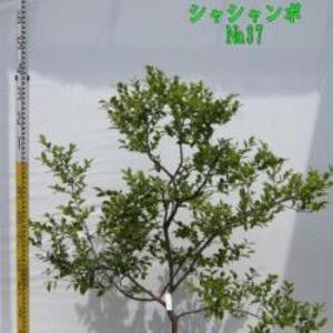 シャシャンボ No,37