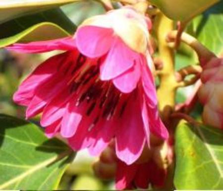 ロドレイアの種 30粒