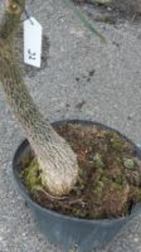 クイーズランドボトルツリー №22