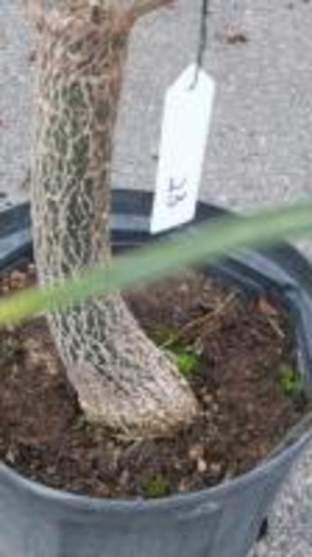 クイーズランドボトルツリー №23