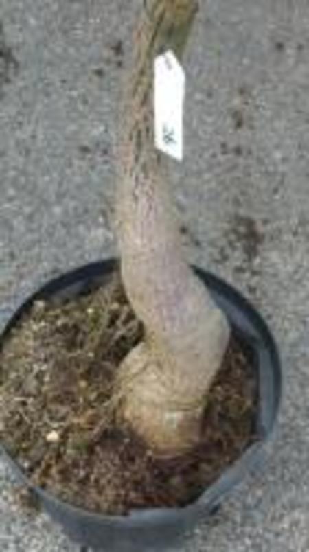 クイーズランドボトルツリー №26