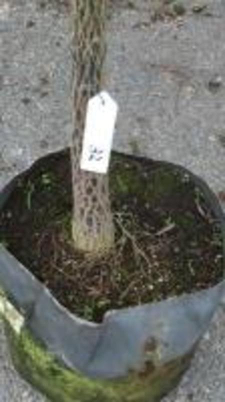 クイーズランドボトルツリー №32