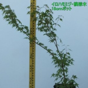 イロハモミジ・模様木 18cmポット