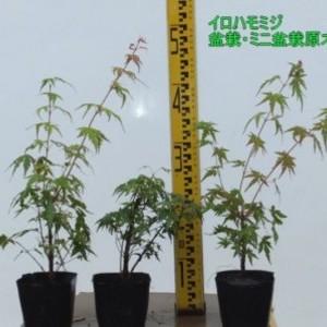 イロハモミジ・盆栽用原木 10.5cmポット