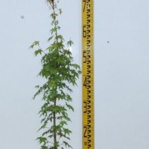 イロハモミジ・10.5cmポット