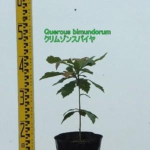 Quercus bimundorum クリムゾンスパイヤ