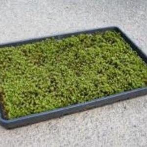 杉苔 5㎡(30枚)