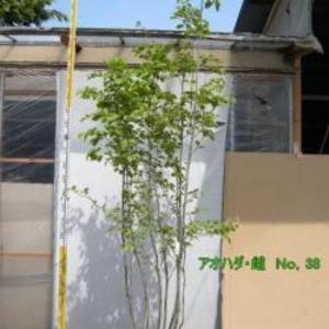 アオハダ・雌木 No,38