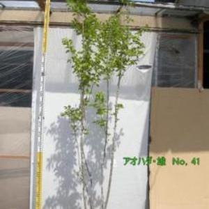 アオハダ・雄木  No,41