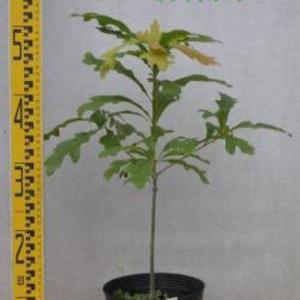 Quercus alba ホワイトオーク
