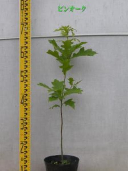 Quercus palustris ピンオーク