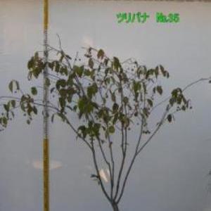 ツリバナ  No,35