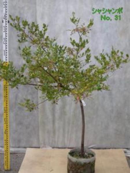 シャシャンボ No,31