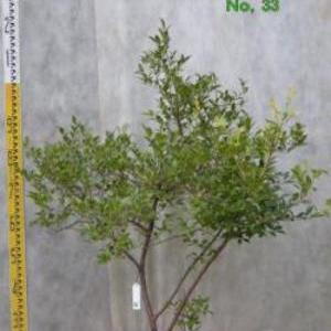 シャシャンボ No,33