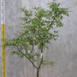 シャシャンボ No,34