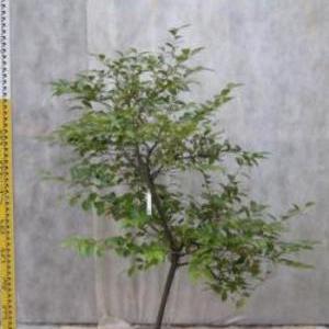 シャシャンボ No,35