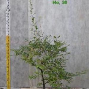 シャシャンボ No,36