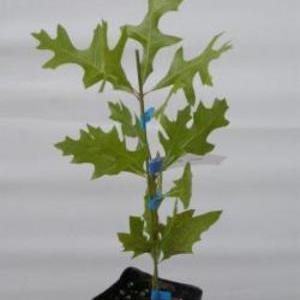 Quercus laevis ターキーオーク