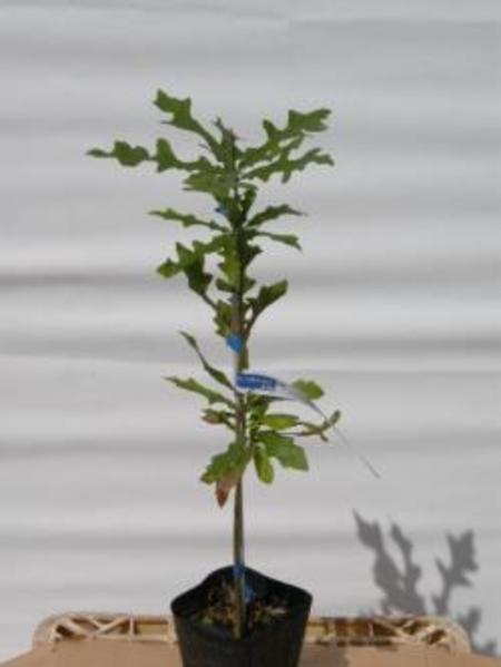 Quercus liyrata オーバーカップオーク