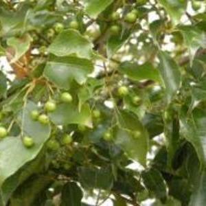 クスノキの種 30粒
