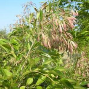 シマトネリコの種 1リットル