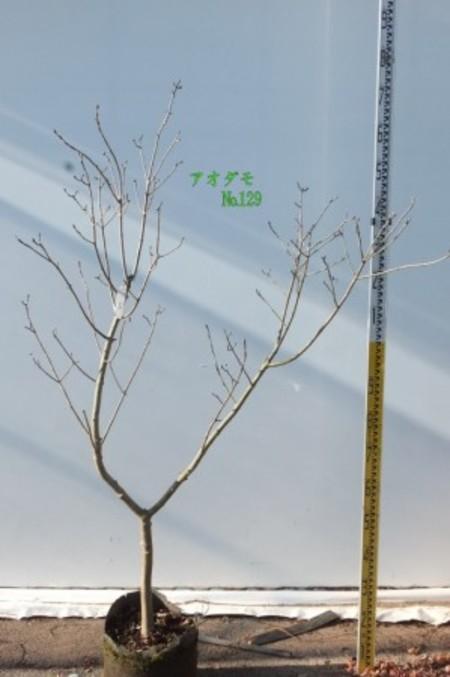 アオダモ No129
