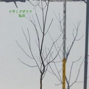 ウワミズザクラ  No,35