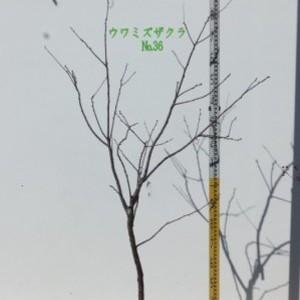 ウワミズザクラ  No,36