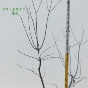 ウワミズザクラ  No,37