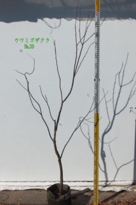 ウワミズザクラ  No,39
