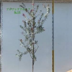 プルプレアアカシア  No,135