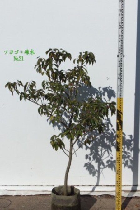 ソヨゴ・雌木 №21