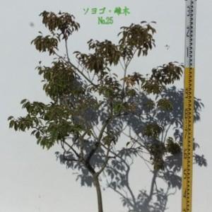 ソヨゴ・雌木 №25