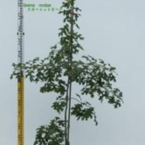 Quercus coccinea スカーレットオーク