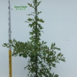 Quercus palustris ピンオーク