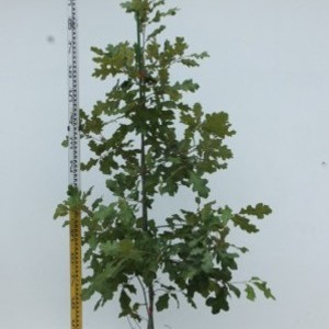 Quercus falcata スパニッシュレッドオーク