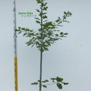 Quercus rubra レッドオーク