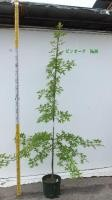 Quercus palustris ピンオーク No,98
