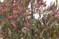 ドドナエア・ホップブッシュの種 30粒